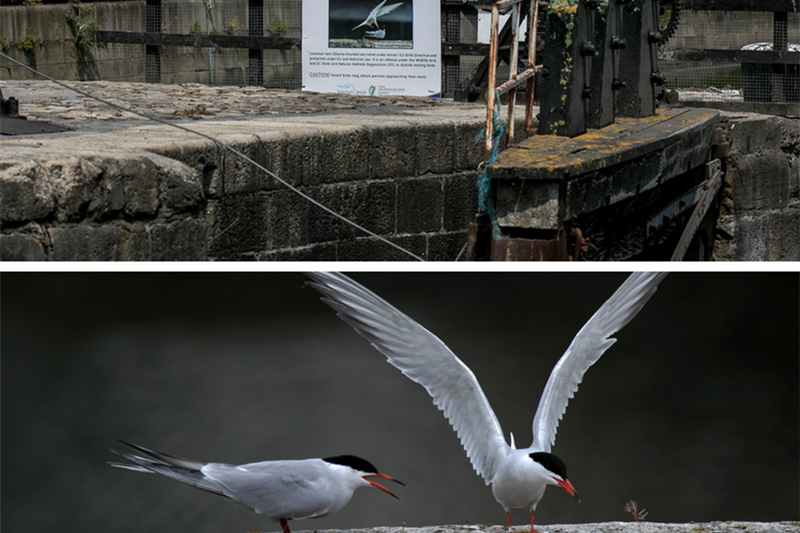 Nesting Terns Grand Canal Dock
