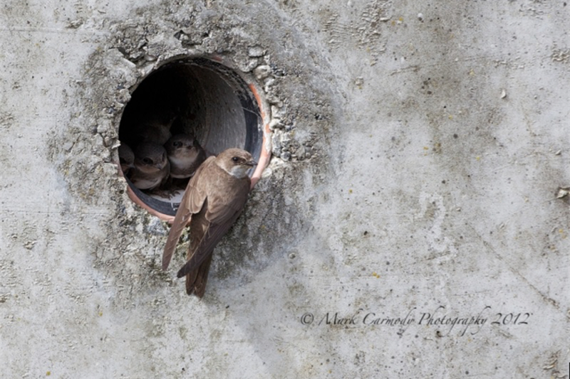 Sand Martin Nesting in Wall